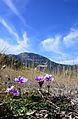 Anemone coronaria - Popy anemones 03.JPG
