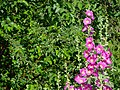 Angiosperms in iran گلها و گیاهان گلدار ایرانی 38.jpg