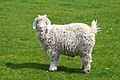 Angora goat flickr.jpg