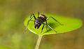 Ant from Ecuador (17208847730).jpg