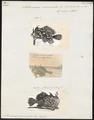 Antennarius marmoratus - 1700-1880 - Print - Iconographia Zoologica - Special Collections University of Amsterdam - UBA01 IZ13600207.tif