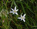 Anthericum ramosum Graslilie.jpg