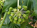 Apiales - Fatsia japonica - 7.jpg
