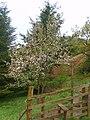 Apple Blossom - geograph.org.uk - 1307091.jpg