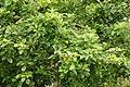 Apple tree at Poltesco (8270).jpg