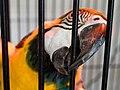 Ara ararauna -biting cage bars-8a.jpg