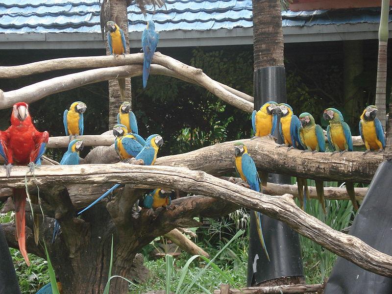File:Ara macaws at Safari World -Bangkok-8b.jpg