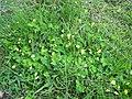 Arachis pintoi habit11 Carol Rose (9528235792).jpg