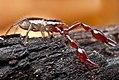 Arachnida, Pseudoscorpiones, Neobisiid pseudoscorpion (4033426514).jpg