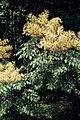 Aralia spinosa 1120462.jpg
