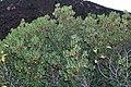 Arbutus unedo (49107040692).jpg