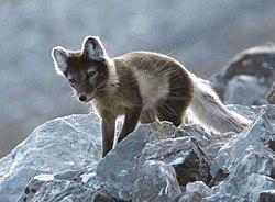 Resultado de imagen de el zorro artico en verano
