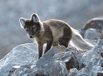 Coloration evidence for natural selection - Snow camouflage: Arctic fox is mainly brown in summer, all white in winter.