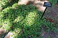 Arctostaphylos uva-ursi - VanDusen Botanical Garden - Vancouver, BC - DSC06723.jpg