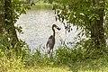 Ardea herodias feeding in Heron pond 1.jpg
