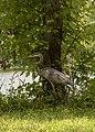 Ardea herodias in Heron Pond 3.jpg