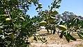 Argan plante, agadir Morocco.jpg