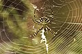 Argiope lobata hembra (4898027425).jpg