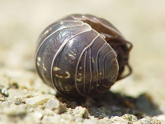 Isopoda - ... and rolled into a ball