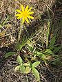 Arnica montana Blüte.jpg