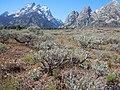 Artemisia arbuscula (5041875295).jpg