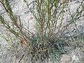 Artemisia campestris (5021067130).jpg
