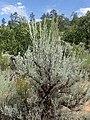 Artemisia tridentata kz13.jpg