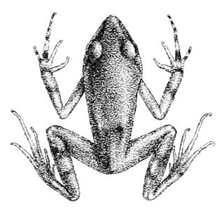 <i>Arthroleptis poecilonotus</i> species of amphibian