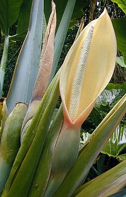 Blütenstände von Xanthosoma roseum