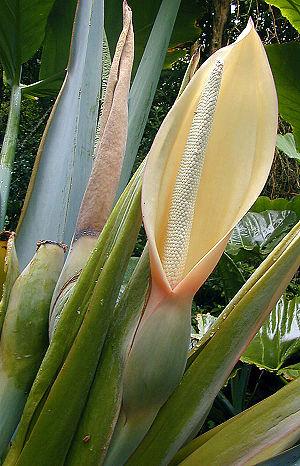 Spadix (botany) - Image: Arum flower