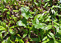 Arum maculatum Allium ursinum leaves.JPG