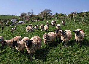 English: Assertive sheep, Kingston These ewes ...