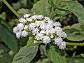 Asteraceae - Conoclinium coelestinum.jpg