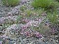 Astragalus calycosus (8265690412).jpg