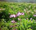 Astragalus sinicus 蓮華草 レンゲソウ - panoramio.jpg