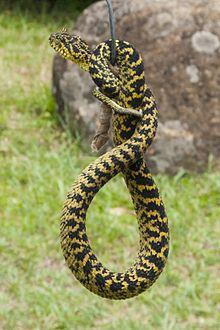 Atheris ceratophora - Wikipedia