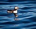 Atlantic Puffin (28380333724).jpg