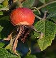 Atlas roslin pl Róża pomarszczona 10309 7793.jpg