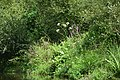 Auray (River)LeLochAmont de la Rivière d'AurayAout2018MorbihanLamiotFLM a 23.jpg