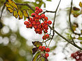 Autumn berries (10493457236).jpg