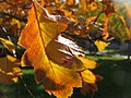 Autumn leaves (6708299985).jpg