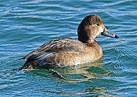 Aythya americana f Ontario2.jpg