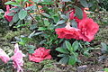 Azalea at lalbagh7281.JPG
