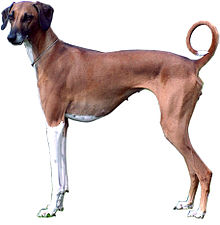image of a slender dog vaguely like a greyhound. White front legs, rest of body light brown. very short hair, pronounced ribcage with some ribs visible, thin tail up and curved into a circle with a white tip. ears triangular in shape drooping down close to the head.
