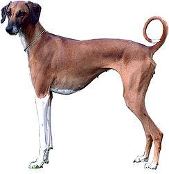 породы собак - Страница 3 244px-Azawakh_bitch_Shira-tb