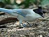 Azure-winged Magpie RWD2.jpg