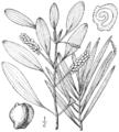 BB-0178 Potamogeton epihydrus.png