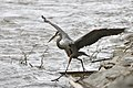 BDT2757 .Great blue heron.jpg