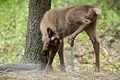 Baby Reindeer Scratching its Head (14130501937).jpg