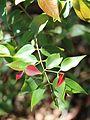 Backhousia tetraptera new growth.jpg